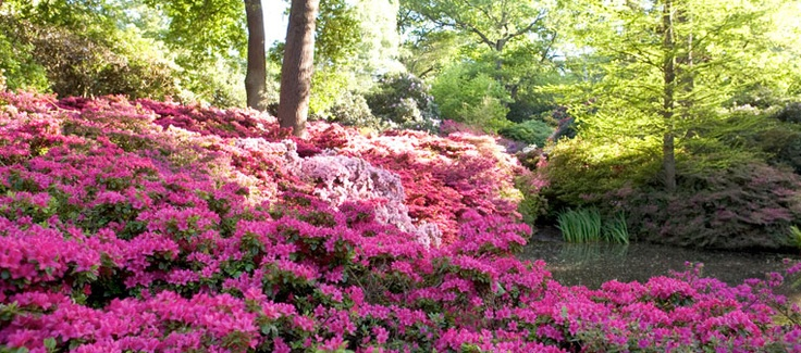 The Isabella Plantation in Richmond park.  One of the most amazing displays of rhododendrons and azaleas in the world.  This is where we draw a lot of our inspiration from.
