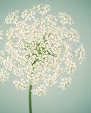 Queen Anne's Lace Flower Photo
