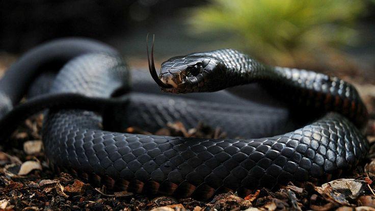 Black Mamba Snake Wallpapers