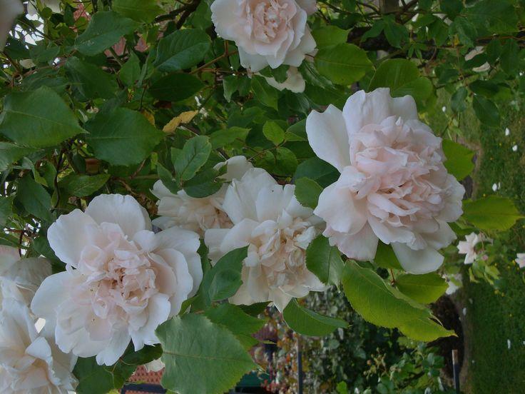 Rosen schneiden, Rosen richtig düngen, wann und womit. Pflanzenschutz bei Rosen Krankheiten Sternrußtau, Mehltau und Rosenrost bekämpfen und vermeiden Stärkungsmittel für Rosen