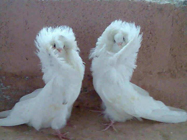 jacobin pigeon - photo #6