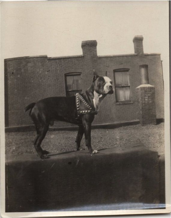 VINTAGE DOG PHOTO  handsome Boston Terrier Dog by vintagewarehouse, $3.00