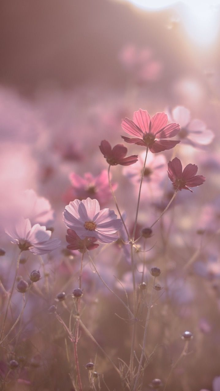 Pink Cosmos In Natural Sunlight Photographyinspiration Photography Photograp Cosmos In 2020 Flower Phone Wallpaper Flower Aesthetic Beautiful Nature Wallpaper