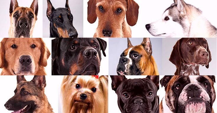 What is the most popular dog breed? #Dog #breed #popular #list #Animal #pet