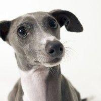 #dogalize Razas de Perros: Galgo Italiano caracteristicas y cuidados #dogs #cats #pets