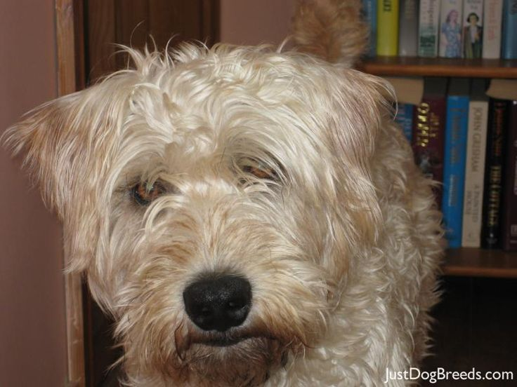 120 best images about Х Soft Coated Wheaten Terrier on ...