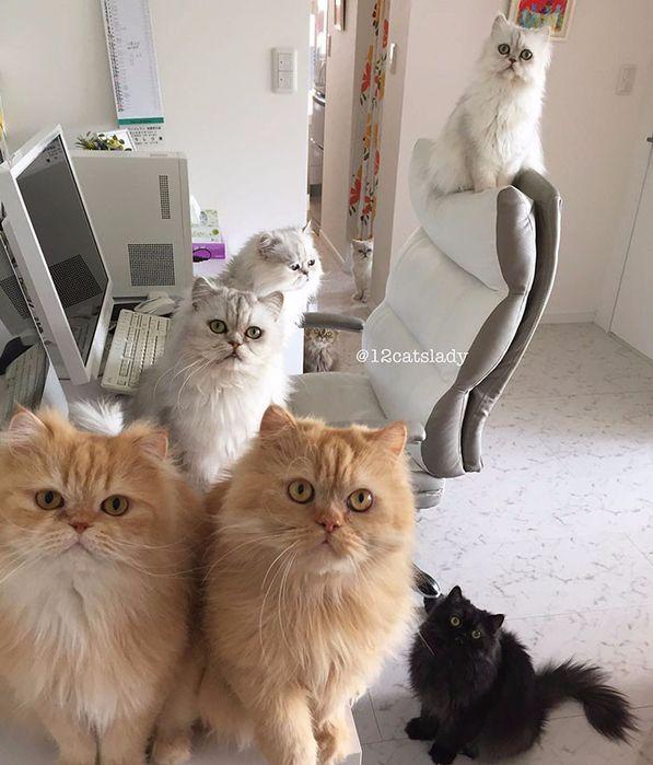персидские кошки фото 9 (597x700, 349Kb)
