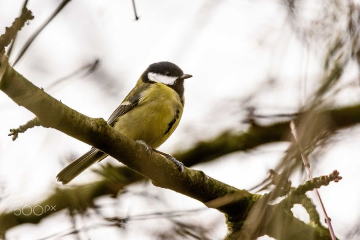 king of the tits - a great tit sitting in a tree keeping an eye out for intruders