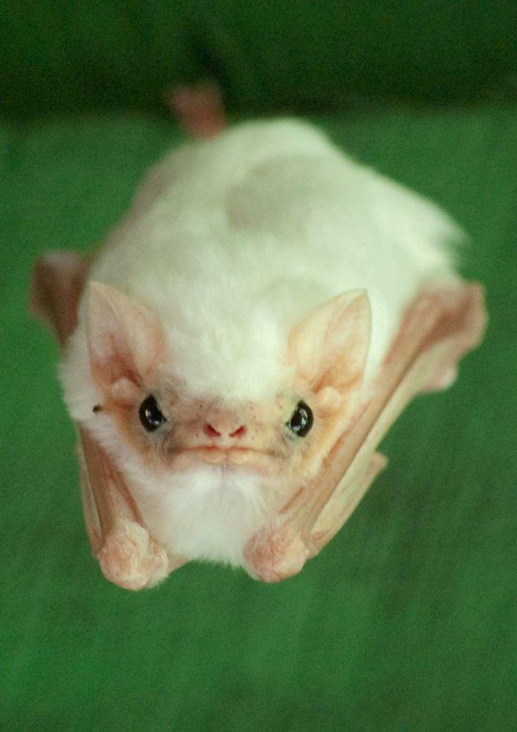 Honduran Ghost Bat Bat species, Cute bat, Animals