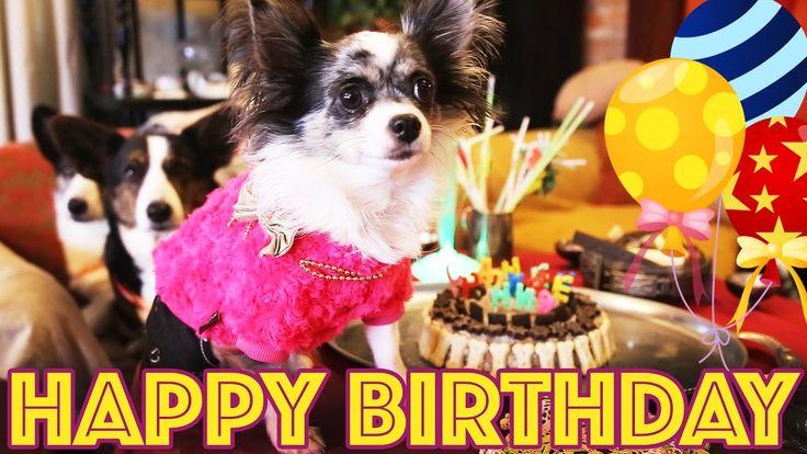 ДЕНЬ РОЖДЕНИЯ СОБАКИ ЧИХУАХУА СОФИ #dogs #dog #happybirthday #hbd #собаки #чихуахуа #chihuahua #chihua #животные #animals