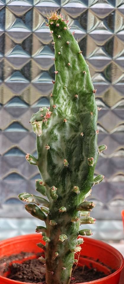 Opuntia monacantha v. variegata a.k.a. Joseph's coat. Native to Brazil & N Argentina. (Cactus)