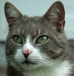 LOST CAT - Buckeye is an adoptable Domestic Short Hair - Gray And White Cat in Brighton, MI. LOST KITTY (courtesy post)  Buckeye is male neutered gray and white cat that went missing around September ...White Cat