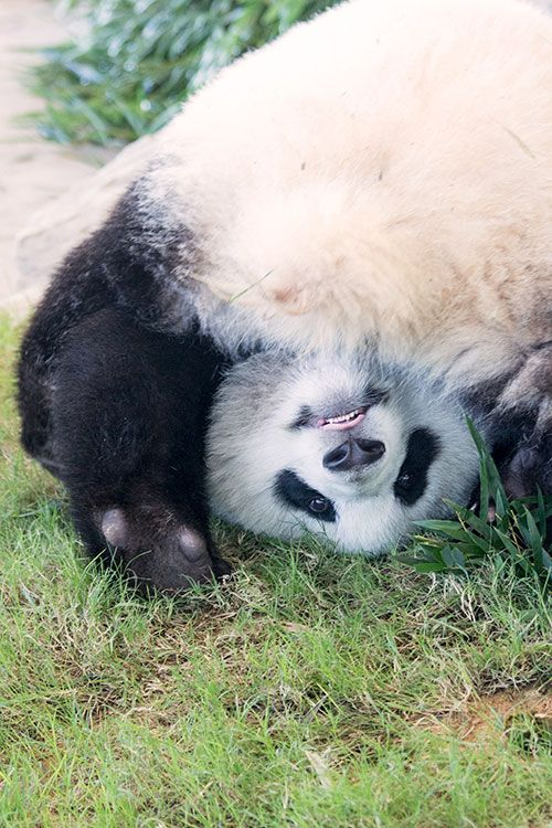 優浜 (ゆうひん) Yuhin, female giant panda born in 2012 at Shirahama Adventure World, Wakayama, Japan