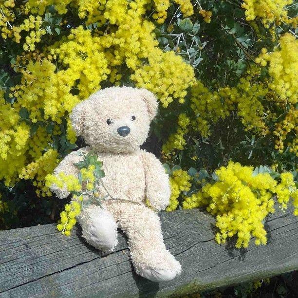 Teddy celebrates Australia's wattle day. See her blog www.teddybearlife.com #teddy #teddies #teddybear #socute #softtoy #stuffedtoy #wattle #flower #australia #nationalemblem #instabear #instagrammer #photooftheday #picoftheday #nationalday #national #floral #native #flower #celebrate