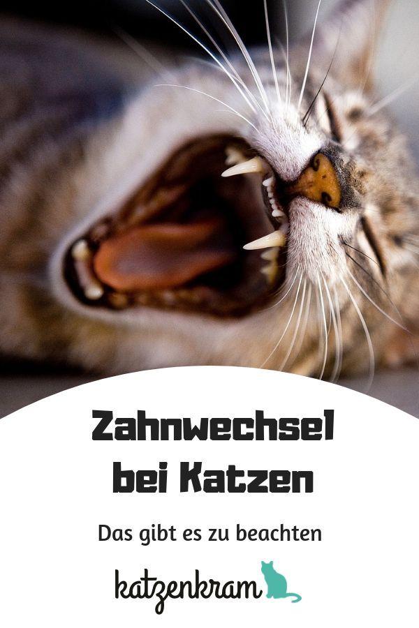 Zahnwechsel Bei Katzen Von Den Milchzahnen Zum Fertigen Gebiss