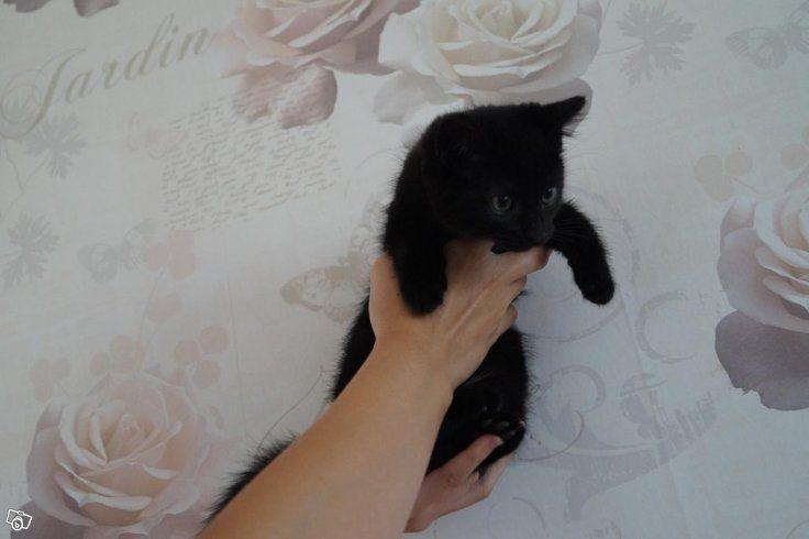 Nu vill mina underbara kattungar komma till ett kärleksfullt hem då de är 12 veckor den 11 augusti. Det är två honor bild 3 och 4. Två…