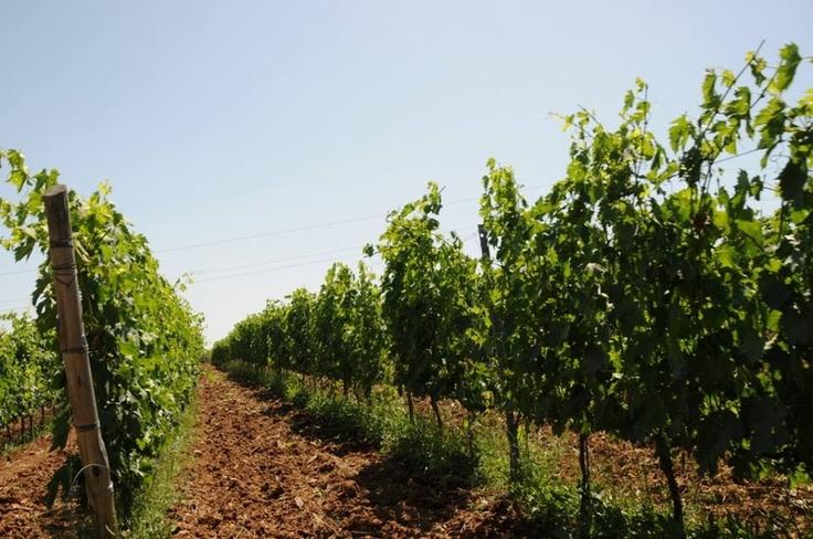 Vigneto Poderi Marini #vinidicalabria #vini #calabria #vigneti #euvite #vineyards