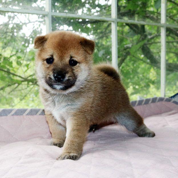令和2年 6月27日 極小豆柴 パセリちゃんが黒 白 出産 豆柴ブリーダー富士野荘 柴犬 子犬 小豆柴 子犬