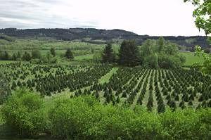 Christmas tree farming