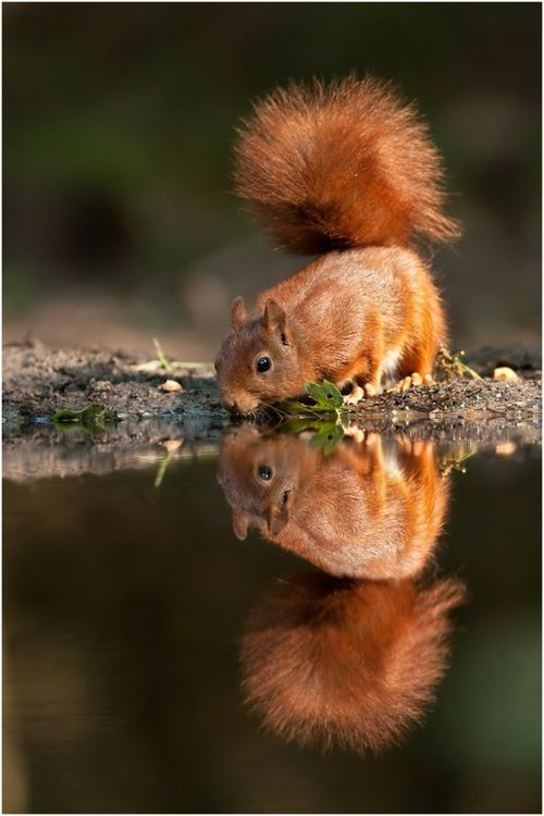 Squirrel reflection - he is beautiful