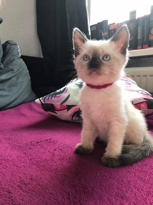 siam kitten entwurmt #und geimpft  €360   Gersweiler  #Saarlan... siam kitten entwurmt #und geimpft  €360 - Gersweiler, #Saarland, #Germany  Aufgeschlossene #und verspielte Siam Kaetzchen #suchen #ihr #neues Zuhause. #Es #sind #noch 3 Kater #und 1 #Katze #zu vergeben.#Die #kleinen #sind #jetzt 7 #Wochen #alt #und #koennen #ca. #ab #dem 07.07.17 #in #ihr #neues #Heim umziehen . #Dann #sind #sie 12 http://saar.city/?p=60612
