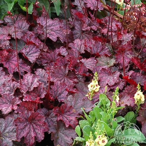 "Coral Bells (Heuchera) ""Midnight Bayou"" - Large purple black veined leaves change color from reddish purple in spring to silver purple later in the season; Mature height 11""; Mature spread 21""; Flower stem (white) 28"""