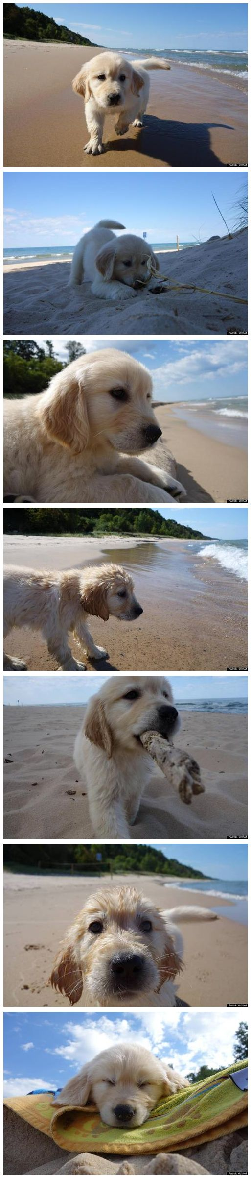 ❦  phototoartguy:  Puppy's First Visit To The Beach Will Make All Other Dog Photos Out There Irrelevant This little fella's name is Champ. He's 9-week-old golden retriever that went to the beach for the first time in Hagar Township on Lake Michigan.   Photograher Patrick Holthof