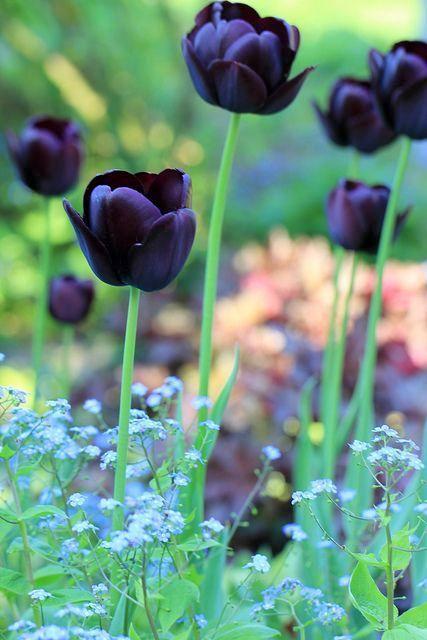 Une tulipe rouge