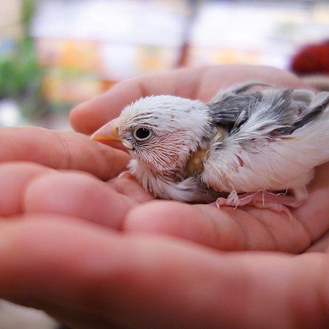 昨日の写真。とても小さいけど、目もぱっちりあいて元気な様子🐣 #文鳥 #白文鳥 #文鳥の雛