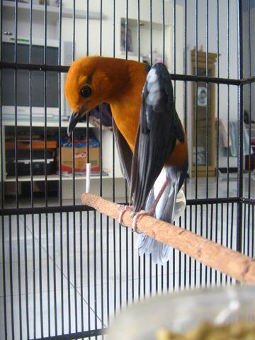 Artikel yang membahas mengenai cara merawat bakalan burung Anis Merah dan tips agar Burung Anis stres   menjadi gacor.