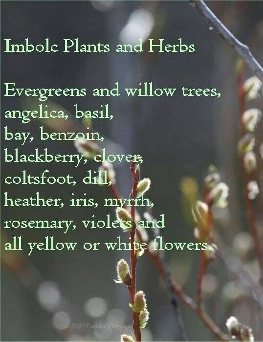 Imbolc:  #Imbolc Plants and Herbs.