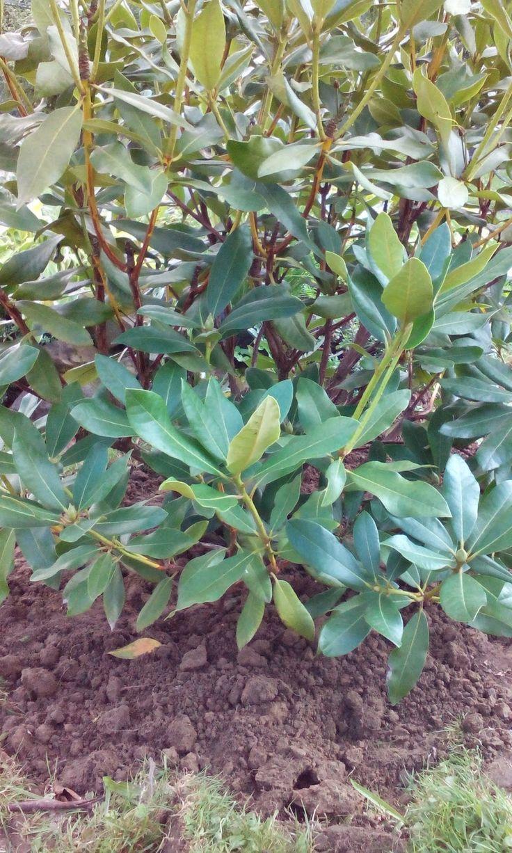 Różanecznik i azalie - przesadzanie | Łyżka i motyka