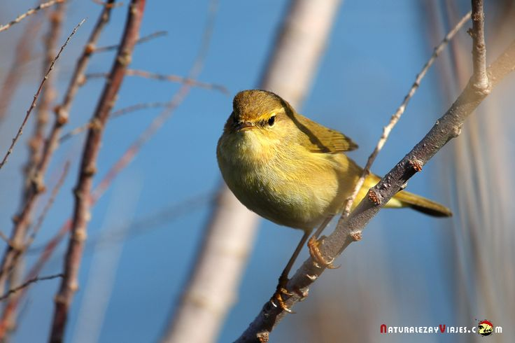 Dónde ver aves en el Algarve, Portugal - via Naturaleza y Viajes 16-01-2017 | El birdwatching, del que os hablé en este artículo que publicamos hace un par de meses, se basa en la observación y el estudio de las aves silvestres. Casi 300 especies de este grupo de vertebrados (entre rapaces, marinas, limícolas, anátidas, paseriformes y otras) se dan cita en este territorio repartidas a lo largo de todo el año. Foto: Verdecillo