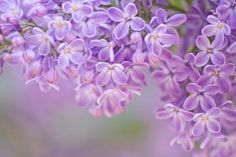 How to Dry Lilac Flowers