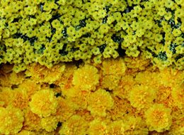 Knowing yellow flower names would help you to find out the exact flowers that you are looking for. The names of the most common flowers have been mentioned in this article. Read on...