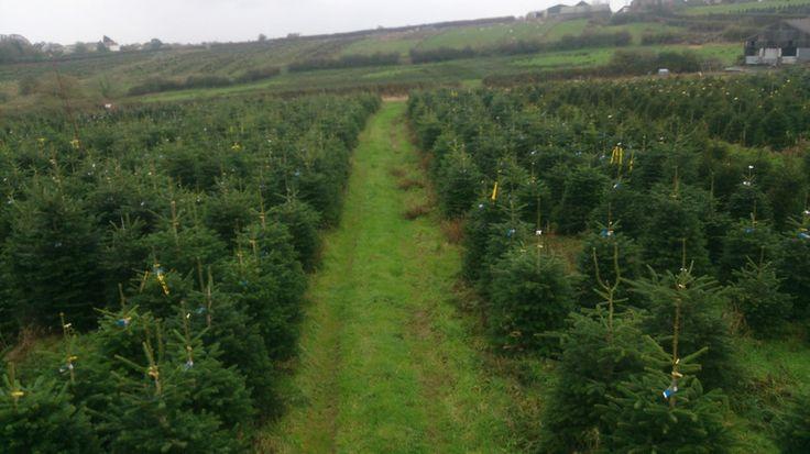 Trees at Parc Trostre, Llanelli - Gower Fresh Trees & Swansea Winter Wonderland