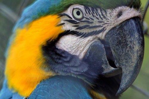 Perroquet : un animal qui parle ne se perd jamais ! – Gaïasphère