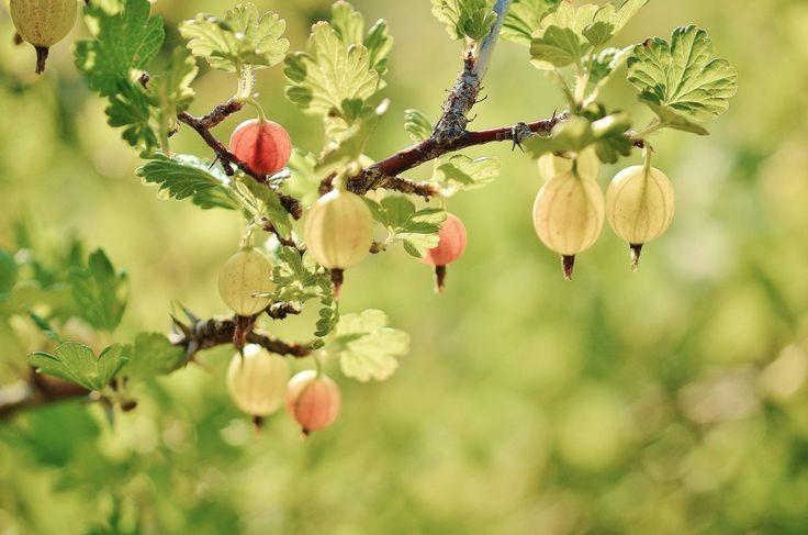 Jag tycker väldigt mycket om krusbär och minns hur jag som barn stod hemma i trädgården och rev upp sår på armarna för att komma åt de sötsyrliga bären bla