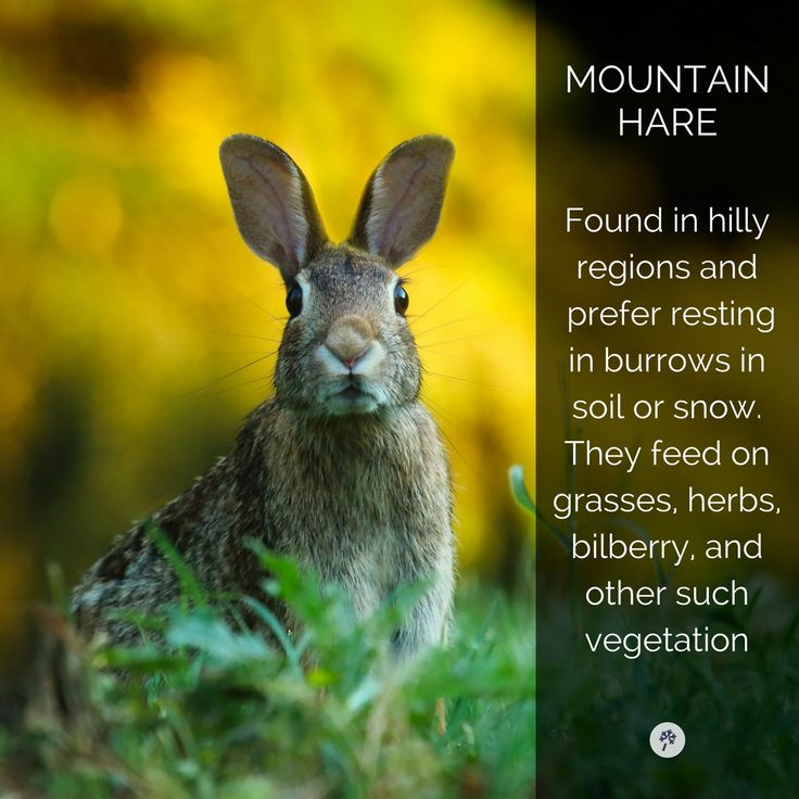 Explore Icelandic Animals like never before with www.tour.is! #hare #rabbit #bunny #mountainhare