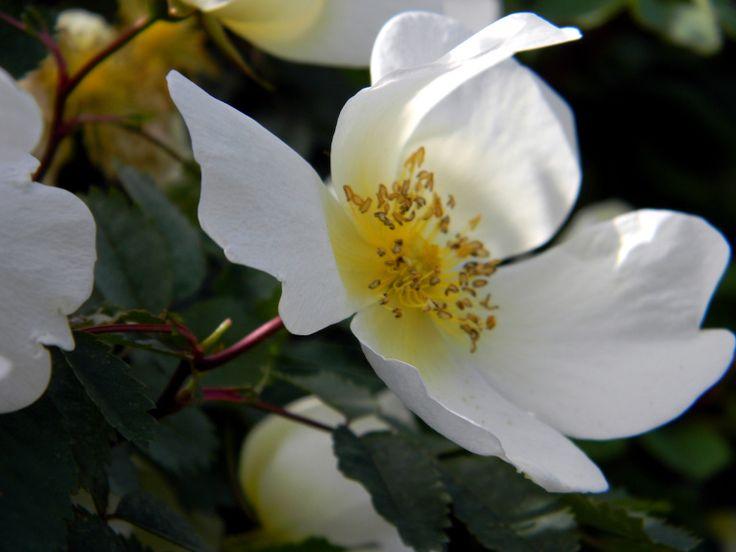 Rosa 'Linnanmäki'