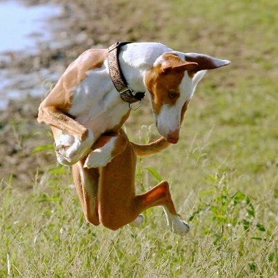Best Flying Dogs Images On Pinterest Greyhounds Whippets - Hilarious photographs dogs floating mid air