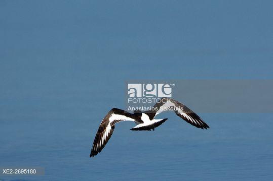 Eurasian Oystercatcher - Haematopus ostralegus, Greece