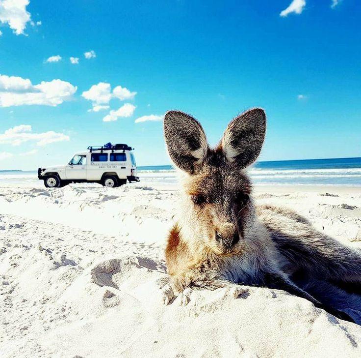 Kangaroo on the beach Bribie Island   www.gdayadventuretours.com