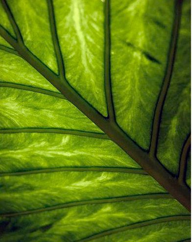 green leaves: Green Collection, Trees Green, Green Always, Green Leaves, Palms Trees, Dreams Greenhouses, Gorgeous Green, Lush Green, Details Prints