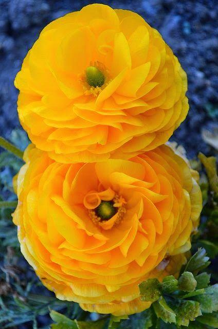 Yellow Ranunculus | Dreaming Gardens