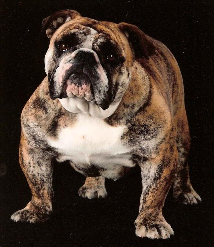 English Bull Dog- I've always wanted one !!