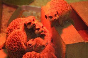 Suricates - Zoo d'Amiens