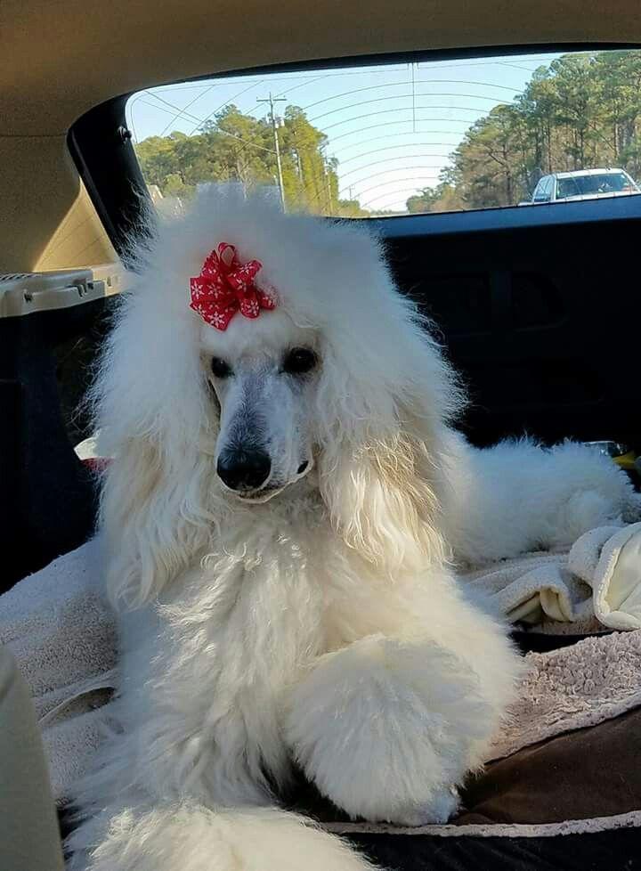 Alexis Grace the poodle