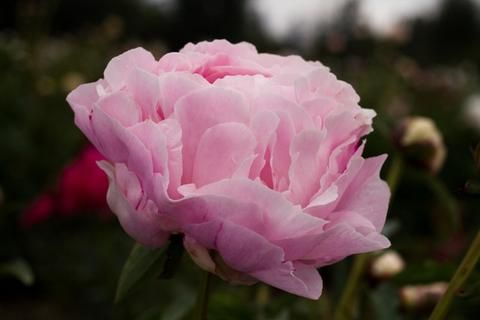 Brooks Gardens Peonies — Myrtle Gentry peony plants for sale