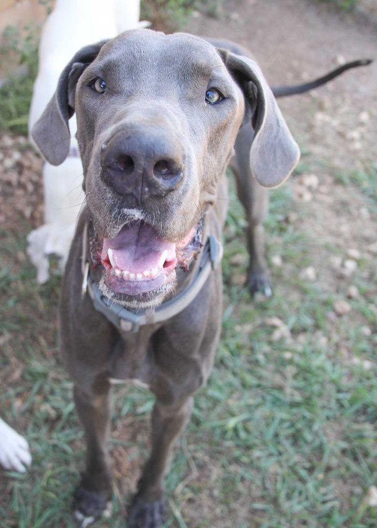 Great Dane dog for Adoption in PIPE CREEK, TX. ADN-565949 on PuppyFinder.com Gender: Male. Age: Adult